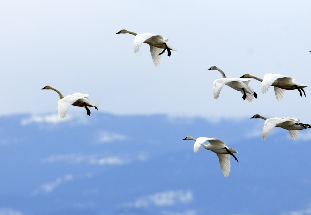 Swans in flight_CP.bmp_compressed