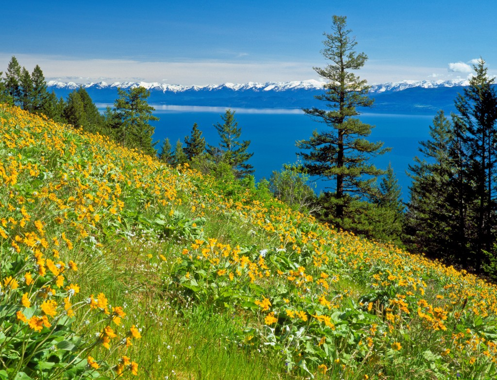 FFB94K balsamroot on hillslope above flathead lake across from the mission mountains near elmo, montana. Image shot 2011. Exact date unknown.
